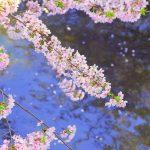 東京で女子と見る桜・花見穴場スポットまとめと2018年開花予報一覧!!